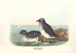 OMBRIA PSITTACULA - Parrot- Billed Auk